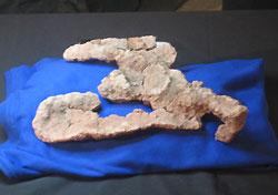 Dimetrondon fossil