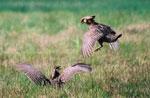 Texas Attwater Prairie Chickens 1