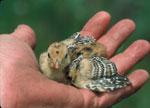 A Texas Attwater Prairie Chick