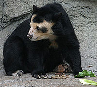 image of spetacled bear at Houston Zoo