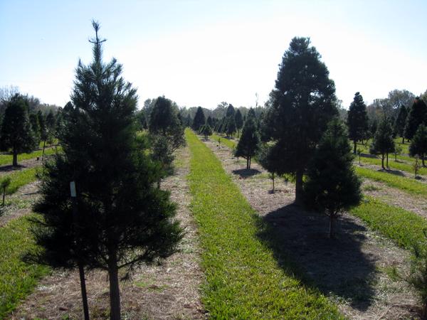 image of Christmas tree farm