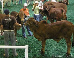 image of Brahman cattle