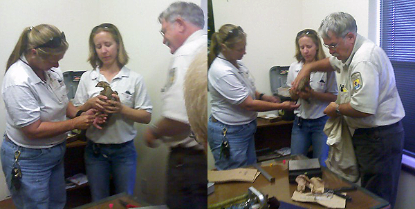 Brenda Davis and Marie Lloyd with the Caldwell Zoo in Tyler assist Mike Morrow biologist with Attwater's prairie chicken National Wildlife Refuge in preparing APC for release