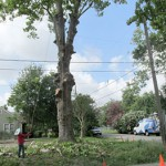 After a hundred-year-old sycamore tree was chopped down in the Heights this week — a group of citizens wants to send a petition to City Hall to develop a tree preservation ordinance.