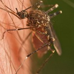 Recent rain the Houston area means we'll likely see an increase in the mosquito population soon. But health officials say they haven't seen mosquitoes that carry dangerous diseases like West Nile virus yet.