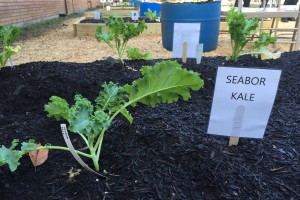 Fresh herbs and vegetables are planted in a garden bed behind the school.