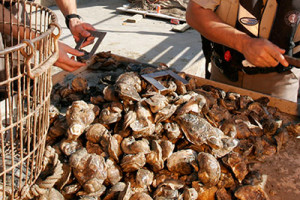 State Bans Oyster Harvesting On Gulf Coast